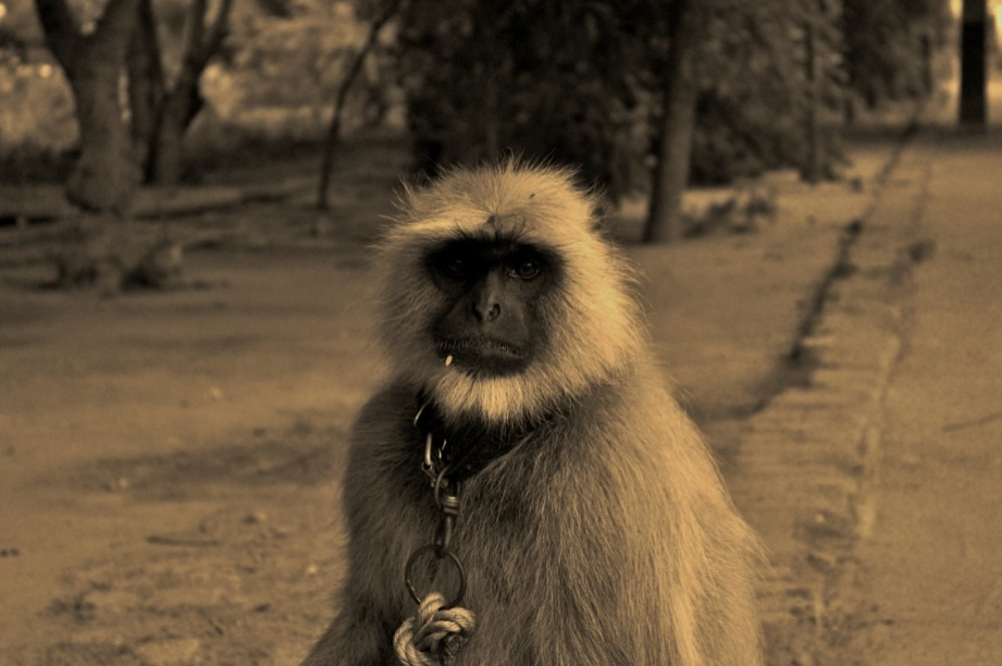 Langoors are still employed to frighten the spoiled brats from Monkey family. Monkeys adorn the 'Amma ki Dukaan' premises since decades as its like a home for them.